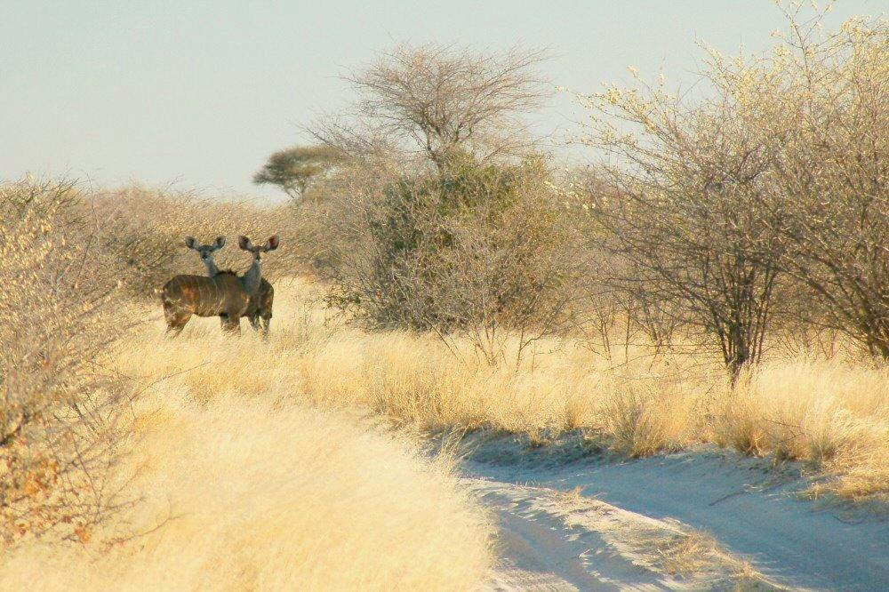 kudu in road