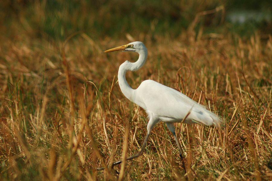 09-25_08-49-56 great white egret2 - ExplorationVacation