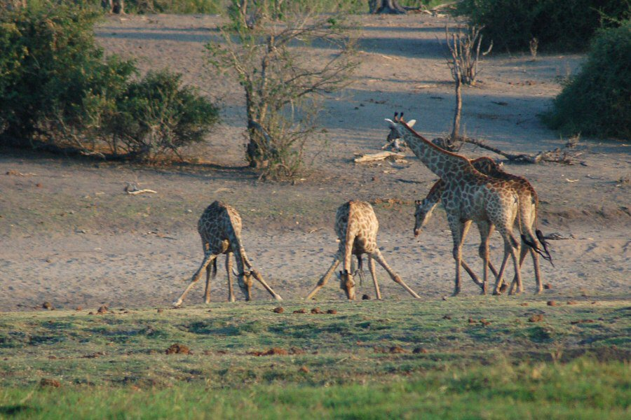 09-25_10-30-00 drinking giraffes - ExplorationVacation