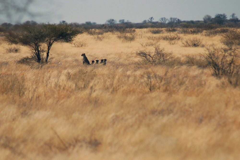 cheetahs off in the distance