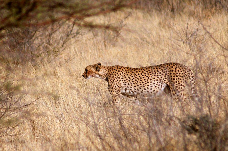 Botswana - ExplorationVacation - 09-13_00-53-19 cheetah