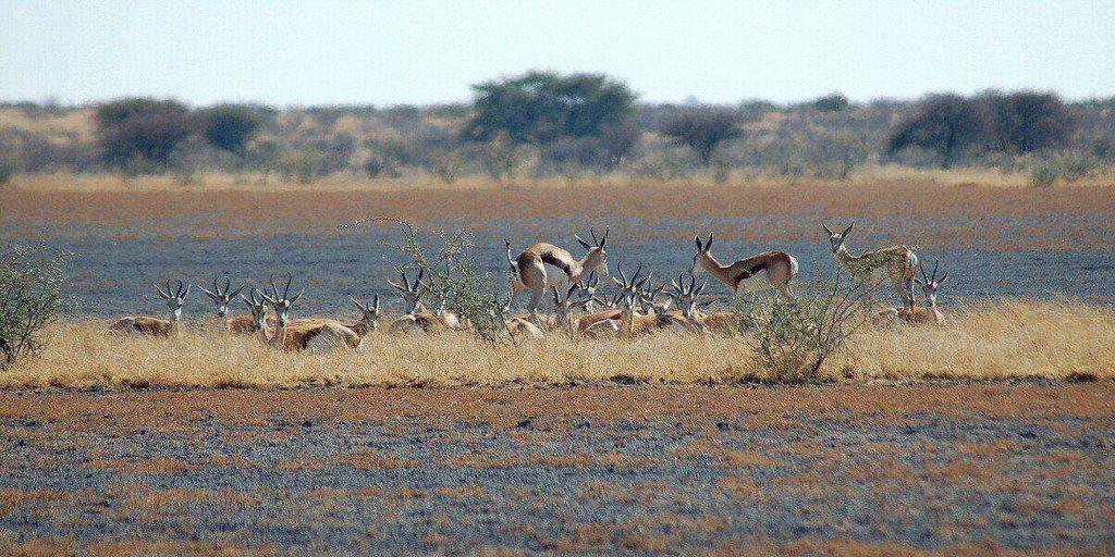 Botswana - ExplorationVacation - 09-13_02-31-15 springbok at Deception pan