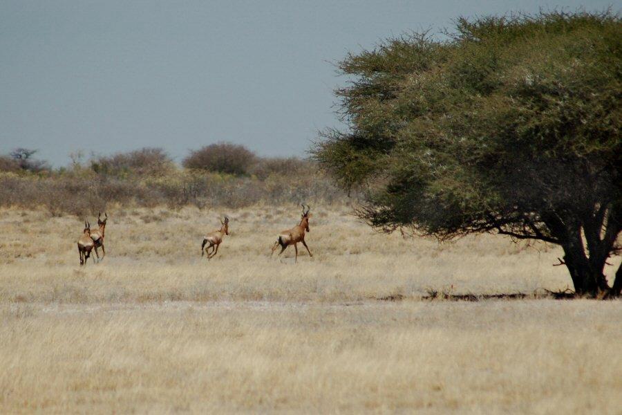 Botswana - ExplorationVacation - 09-13_05-30-46 hartebeest