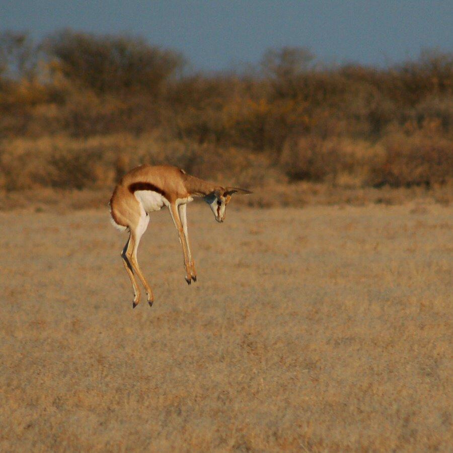 Botswana - ExplorationVacation - 09-13_10-50-21 leaping springbok1