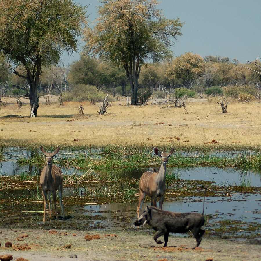 Botswana - ExplorationVacation - 09-22_06-11-13 kudu and warthogs