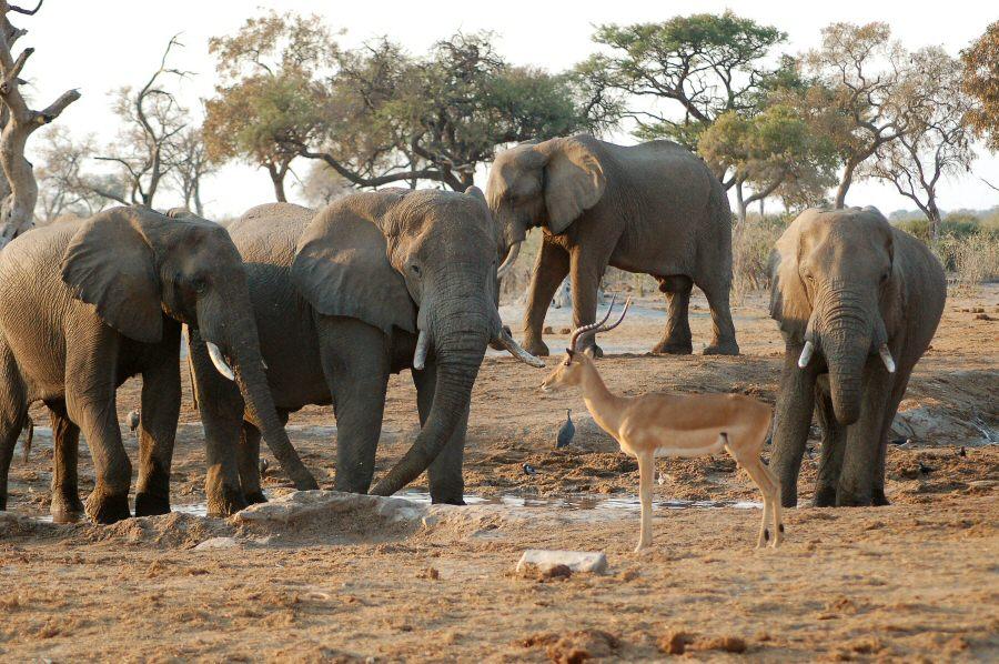 Botswana - ExplorationVacation - 09-22_10-35-24 elephants and impala at watering hole