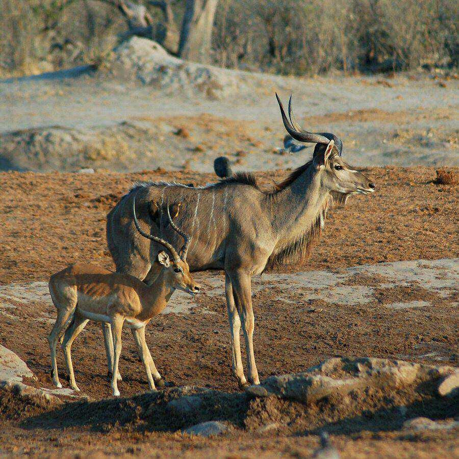 Botswana - ExplorationVacation -09-23_00-04-39 kudu and impala2