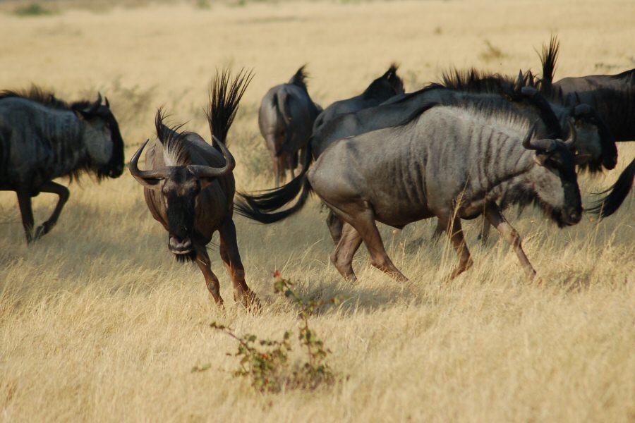 Botswana - ExplorationVacation -09-23_01-29-46 running wildebeast