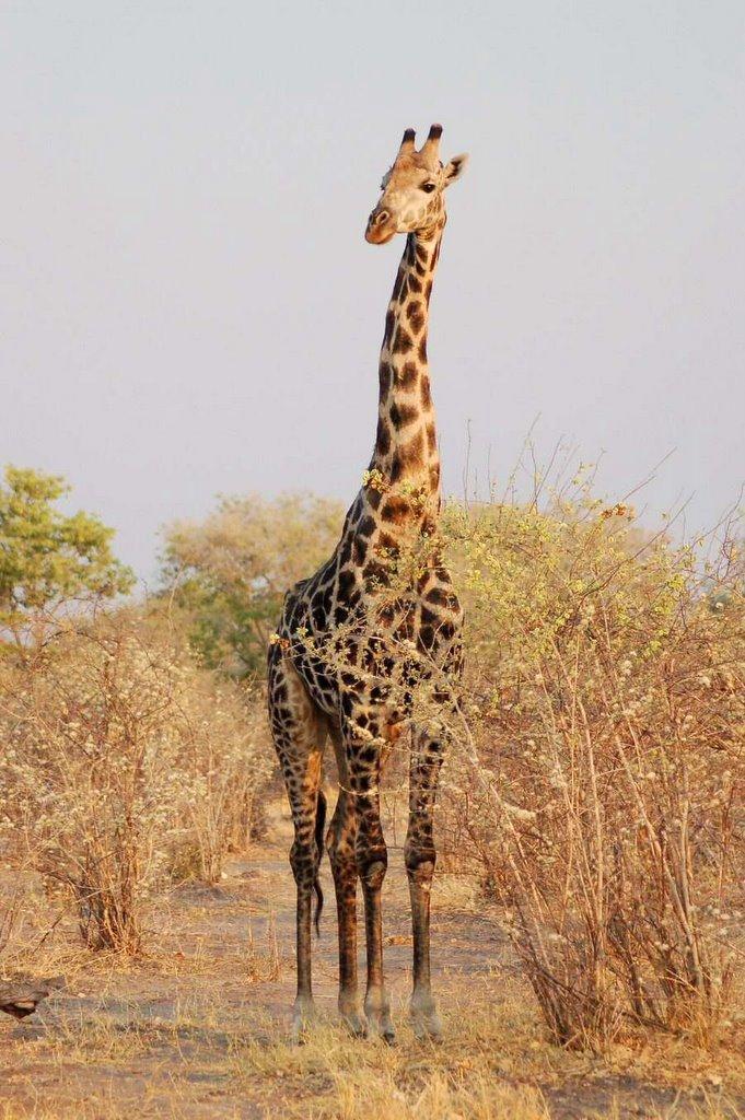 Botswana - ExplorationVacation 09-23_23-56-12 giraffe2