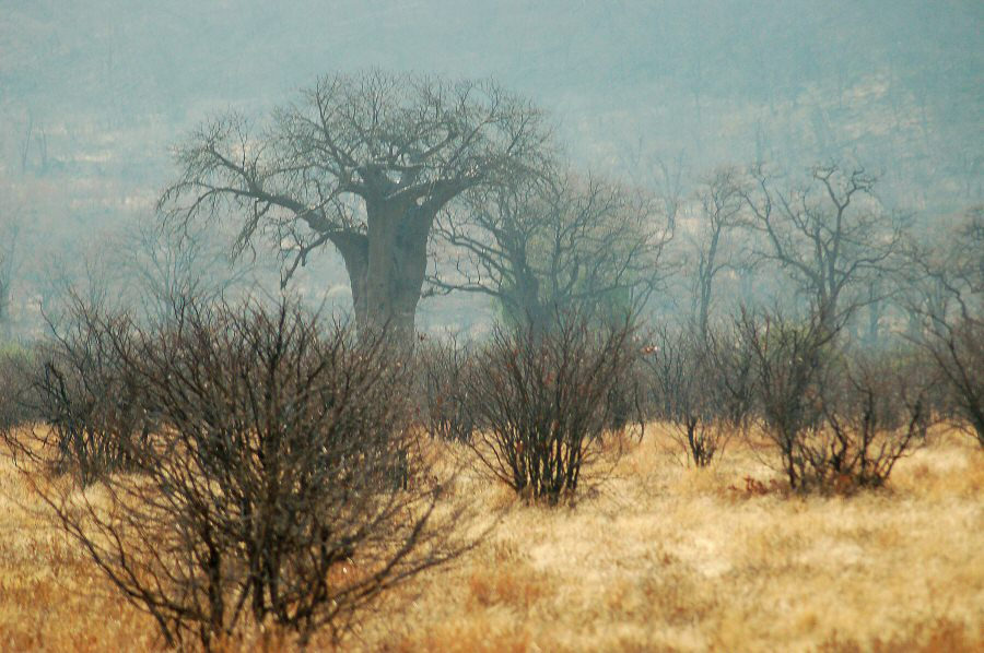 Botswana - ExplorationVacation 09-24_01-03-05 sharpened trees.0