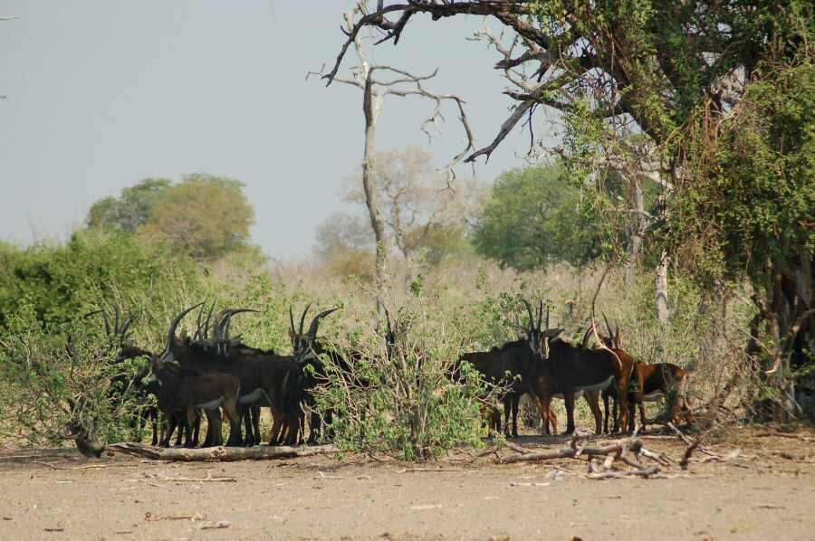 Botswana - ExplorationVacation 09-24_06-59-15 sable