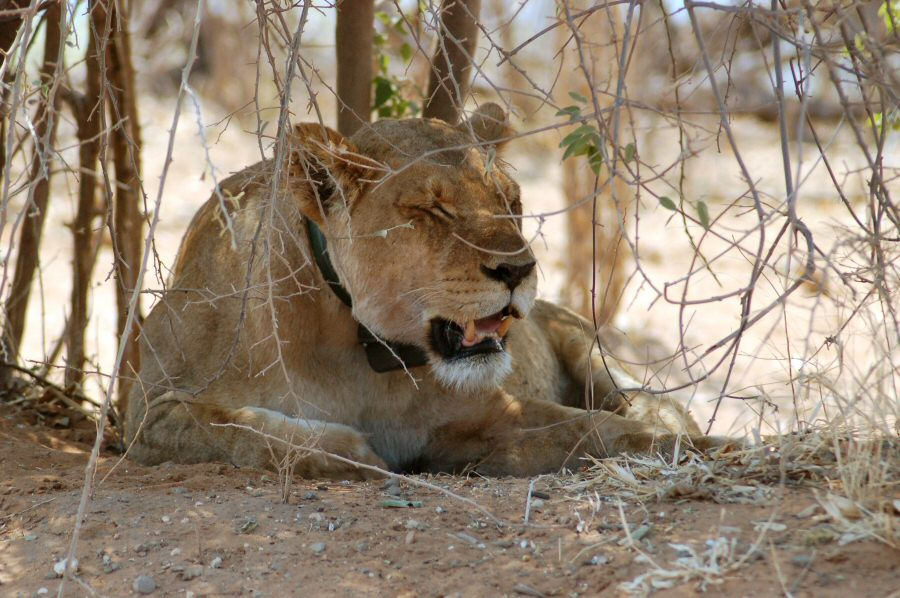 Botswana - ExplorationVacation 09-24_07-10-51 lion