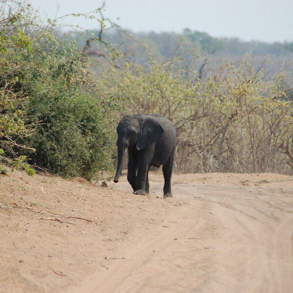Botswana - ExplorationVacation 09-24_07-20-08 baby elephant on the road