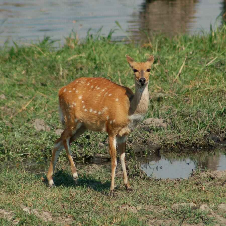 Botswana - ExplorationVacation 09-24_07-59-36 bushbuck