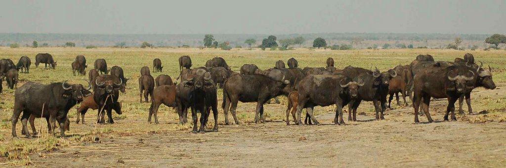 Botswana - ExplorationVacation 09-24_08-17-33 buffalo pan2