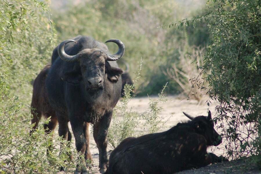 Botswana - ExplorationVacation 09-24_08-40-41 buffalo along road