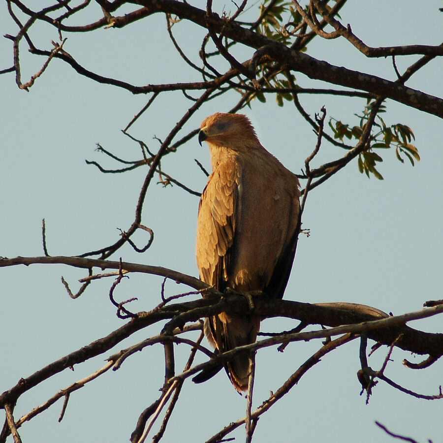 Botswana - ExplorationVacation 09-25_00-38-33 tawny eagle
