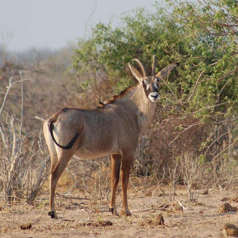 Botswana - ExplorationVacation 09-25_00-44-12 roan antelope
