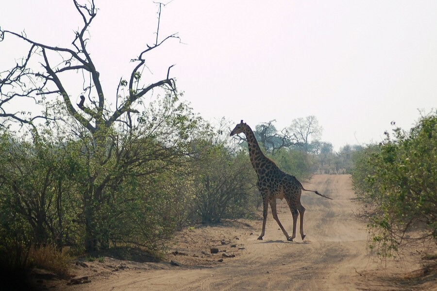 Botswana - ExplorationVacation 09-25_01-27-22 giraffe on road.0