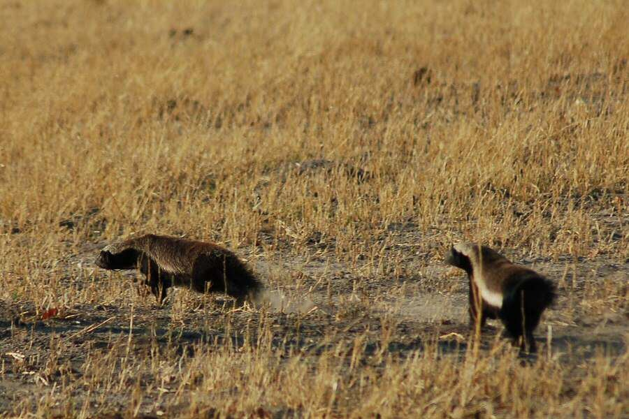 Botswana - ExplorationVacation - 2005-09-22_00-48-45 honey badgers