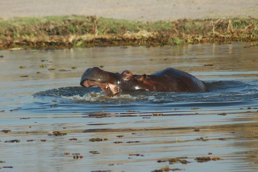 Botswana - ExplorationVacation - 2005-09-22_01-20-56 hippo
