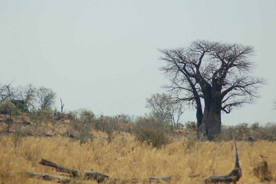 Botswana - ExplorationVacation -2005-09-23_03-06-45 baobab