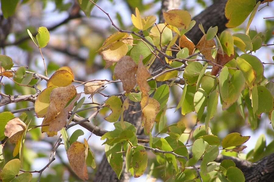 Mopane leaves Botswana - ExplorationVacation