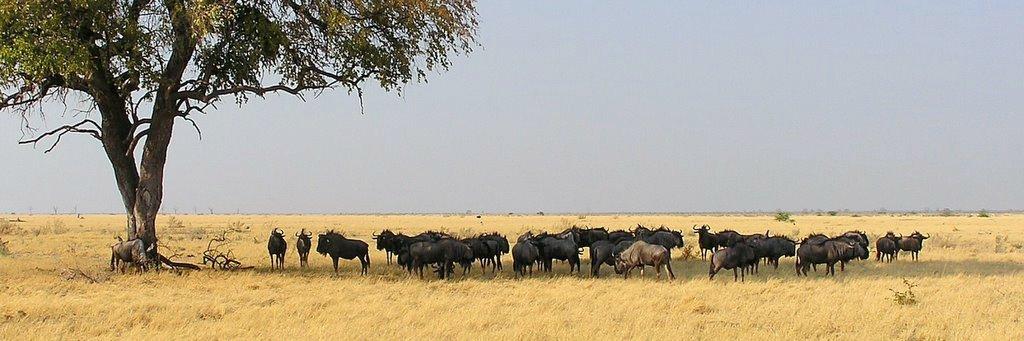 Botswana wildebeast herd - ExplorationVacation -P1010145 pan wildebeast herd