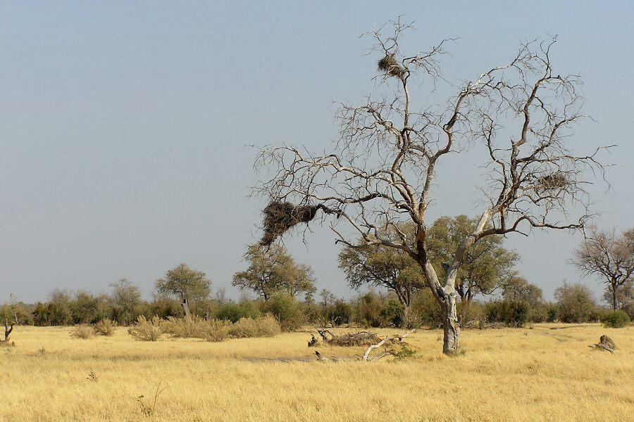 Botswana - ExplorationVacation -P1010146 trees