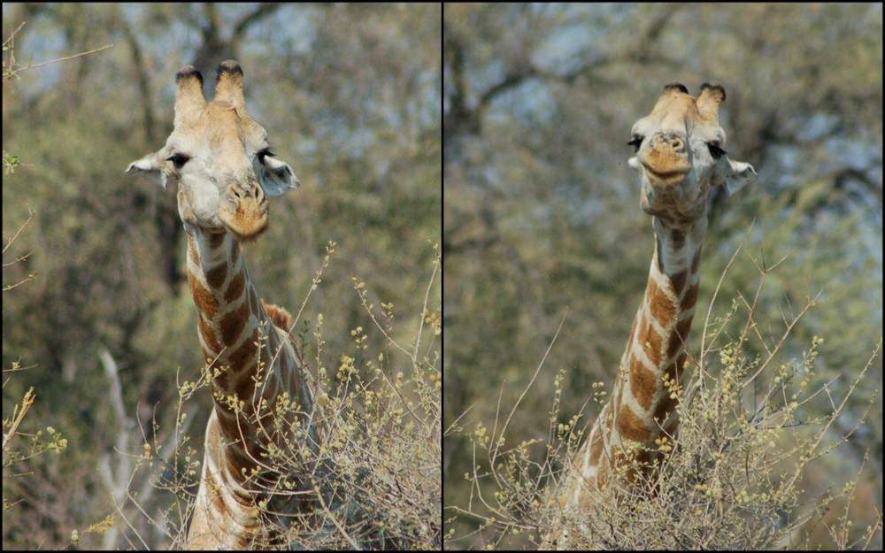 Botswana giraffe in Moremi - ExplorationVacation