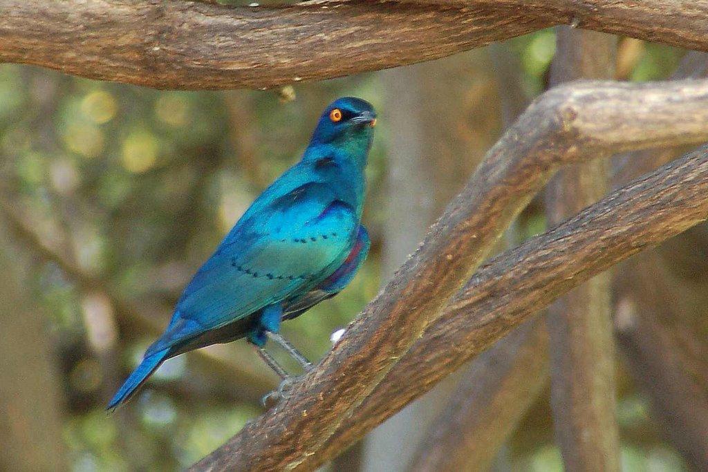 Botswana Moremi - ExplorationVacation - 09-25_06-37-22 starling