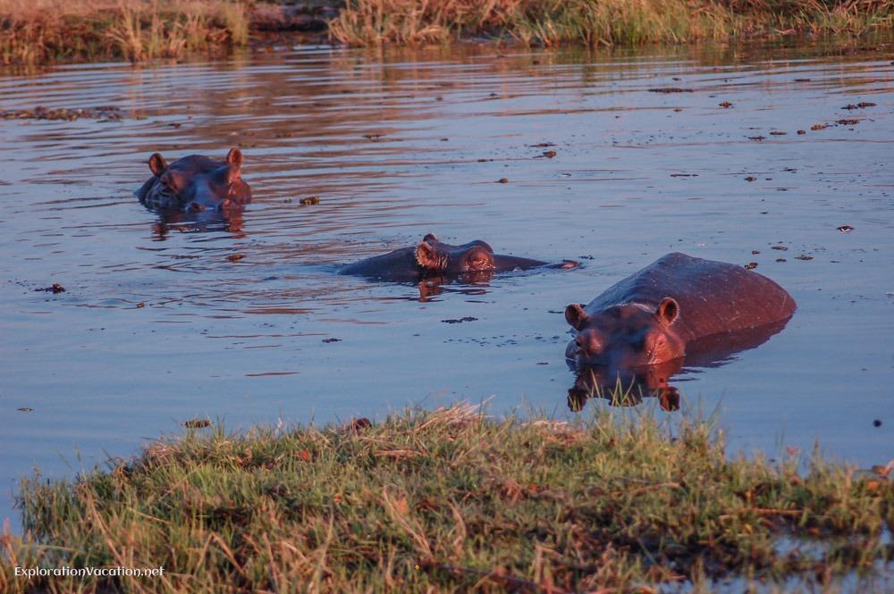 Hippos in Moremi Botswana - ExplorationVacation.net