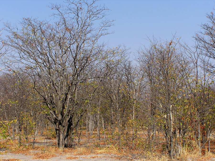Botswana Moremi - ExplorationVacation - P1010132 mopane forest