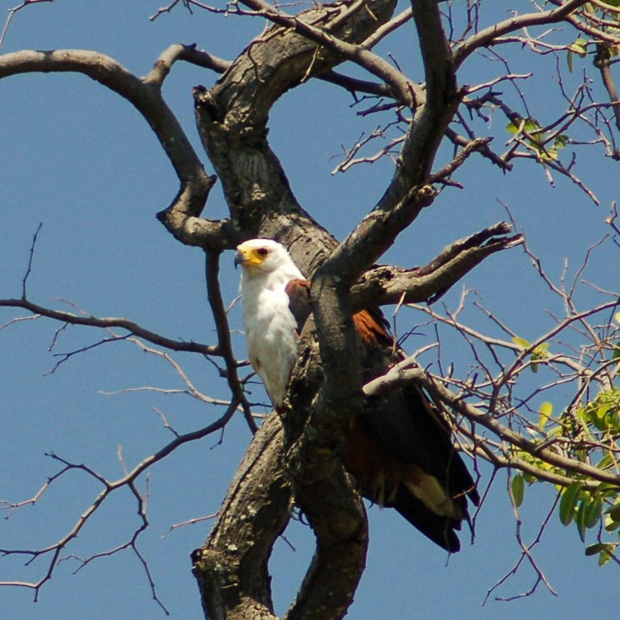 fish eagle in a tree