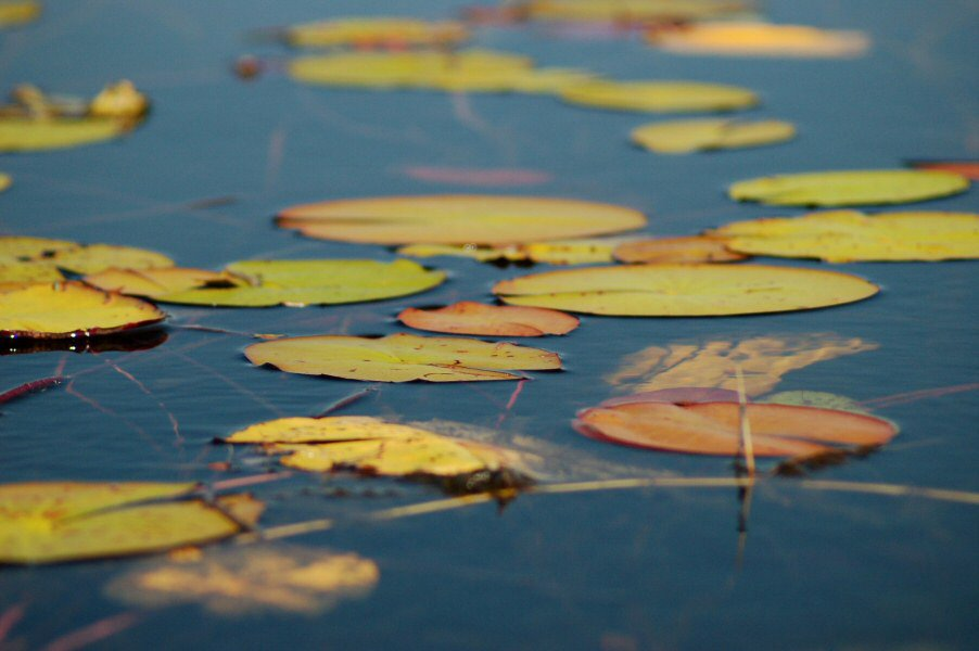 Botswana Okavango - ExplorationVacation - 09-18 lily pads
