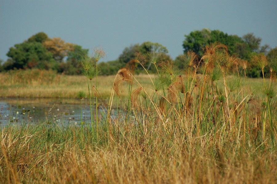 Botswana Okavango - ExplorationVacation - 09-18 papyrus