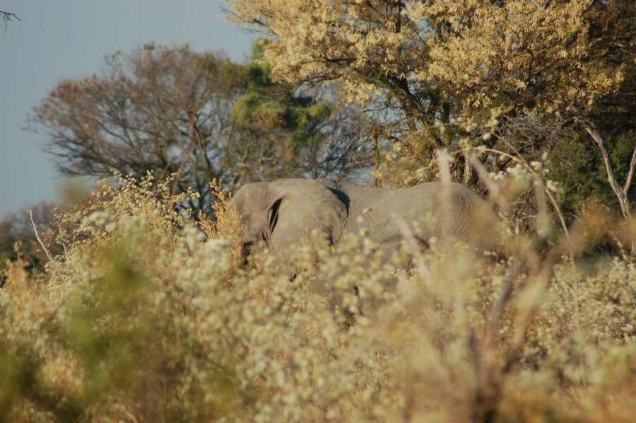 Botswana Okavango - ExplorationVacation - 09-18_elephant on walk