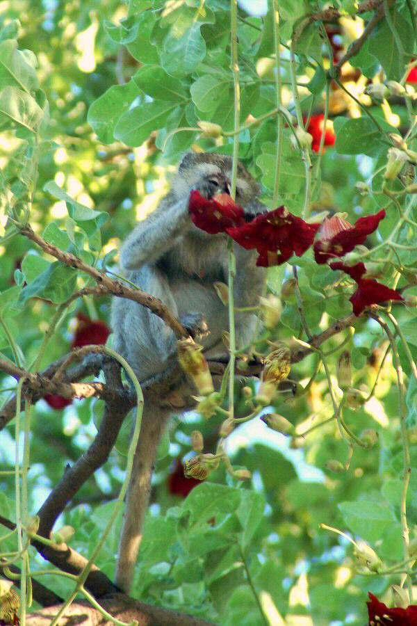 Botswana Okavango - ExplorationVacation - 09-18_monkey in sausage tree