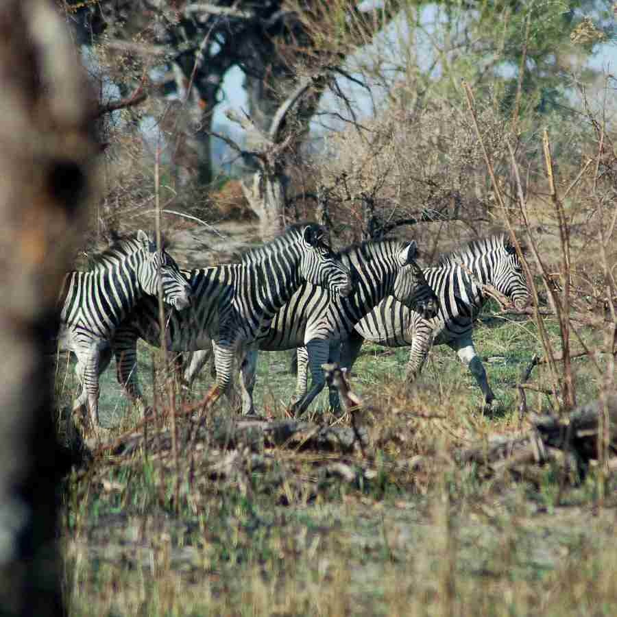 Zebra Botswana Okavango - ExplorationVacation - 09-18_zebra through brush