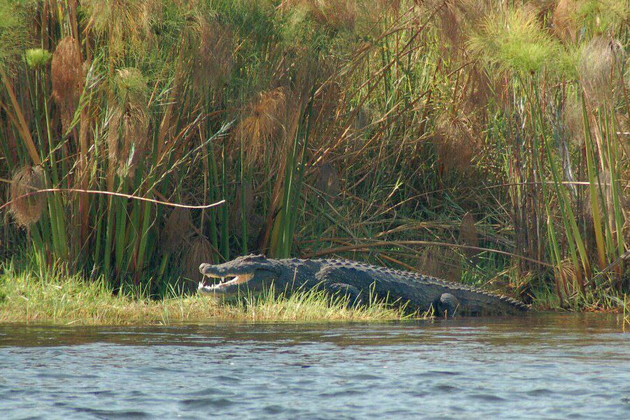 Botswana Okavango - ExplorationVacation - 09-19 Nile croc