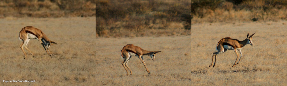 pronking antelope in Botswana - ExplorationVacation.net