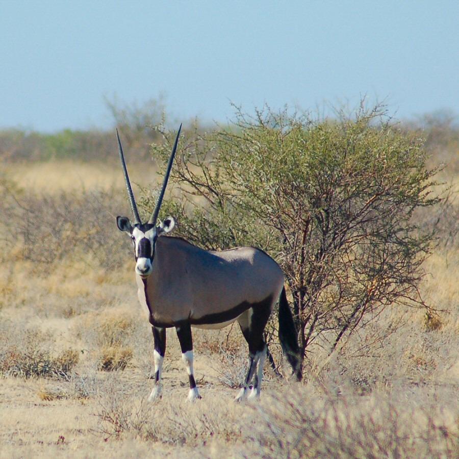 gemsbok in botswana - explorationvacation