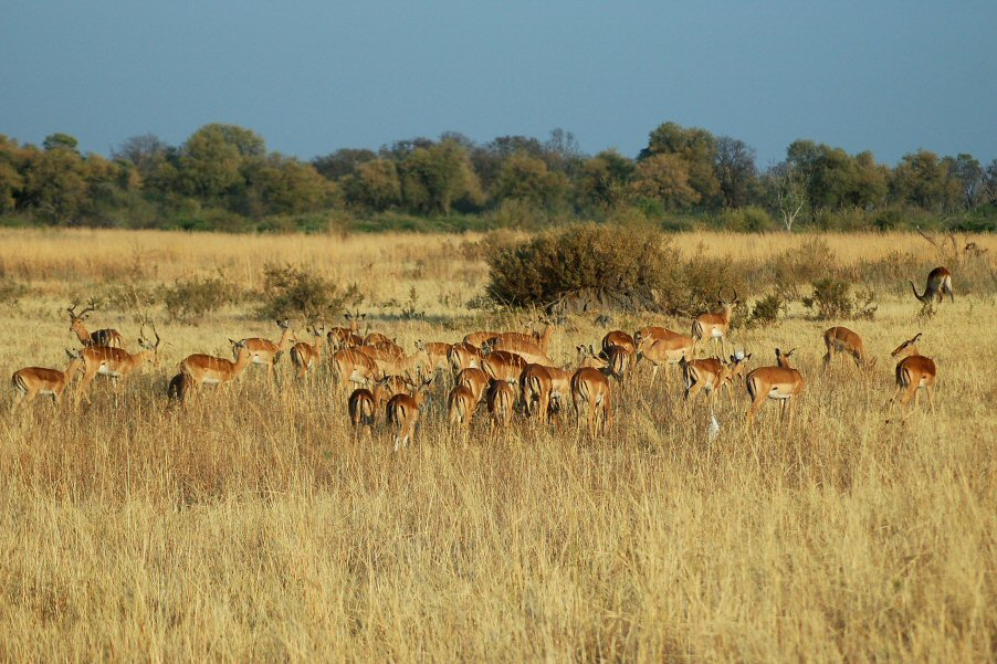 Moremi Botswana - ExplorationVacation - 09-21_00-17-25 impala herd