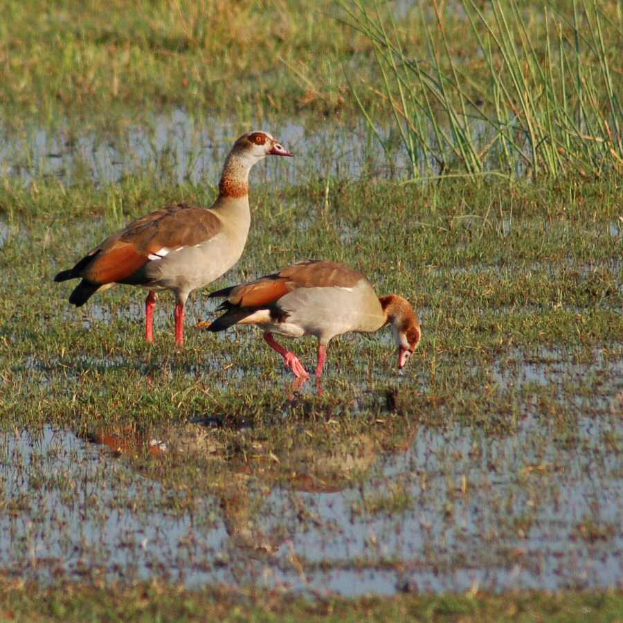 Moremi Botswana - ExplorationVacation - 09-21_00-41-22 Egyptian geese