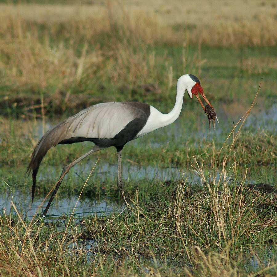 Moremi Botswana - ExplorationVacation - 09-21_01-10-23 wattled crane