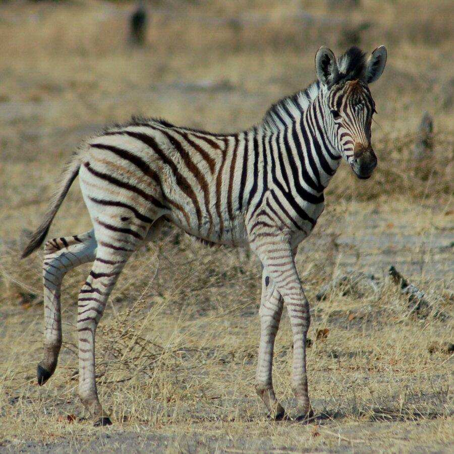 Moremi Botswana - ExplorationVacation - 09-21_02-30-07 zebra baby