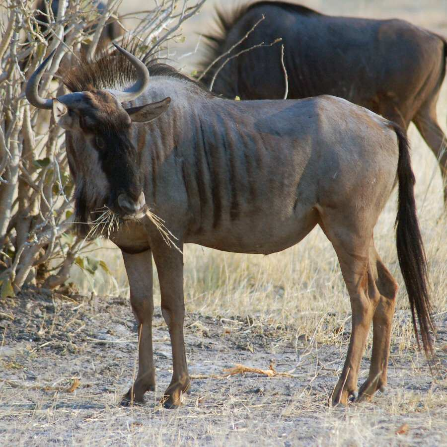 Moremi Botswana - ExplorationVacation - 09-21_10-18-55 blue wildebeest