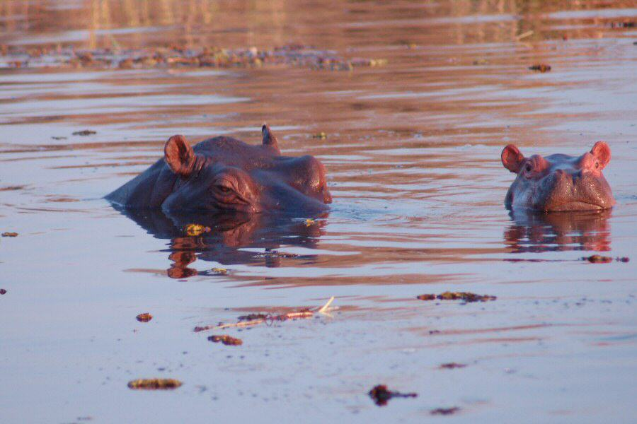 Moremi Botswana - ExplorationVacation - 2005-09-21_00-07-38 evening hippos