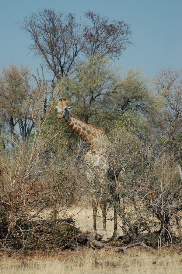 Moremi Botswana - ExplorationVacation - 2005-09-21_01-43-51 giraffe