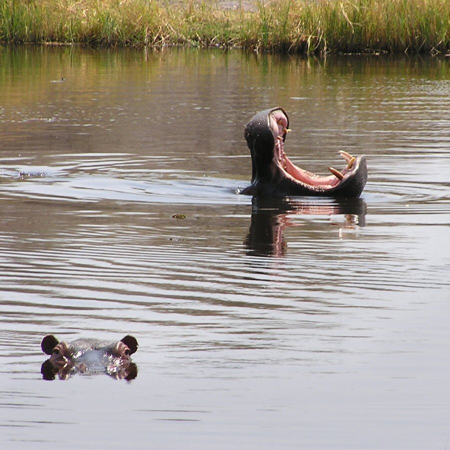 Moremi Botswana - ExplorationVacation - P9210076 hippos